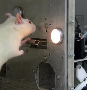 Rat in Box